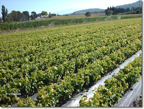 P pini re viticole professionnelle plants de vigne pas cher - Planter vigne raisin de table ...