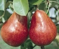 Poire williams rouge